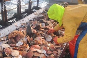 Quoddy Savour Seafoods harvesting scallops